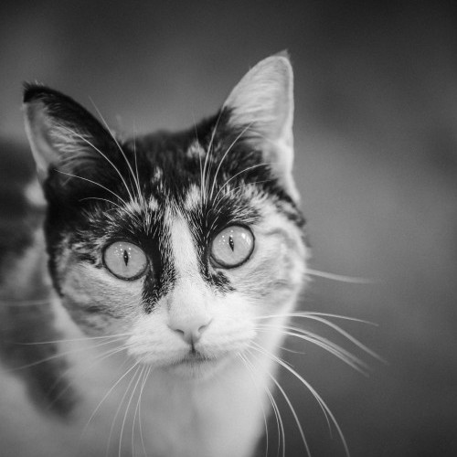 Avances en la detección temprana de cálculos urinarios del gato